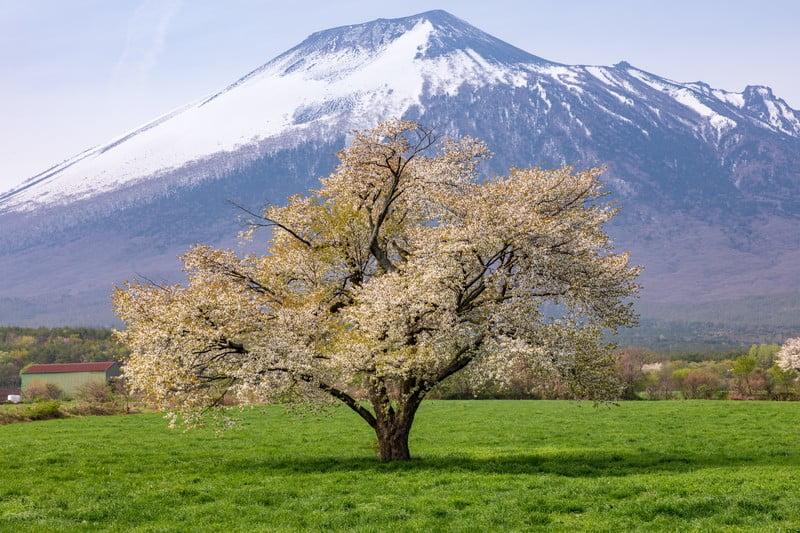 小金井公園の桜祭りの混雑は?屋台は?桜に囲まれたバーベキュー