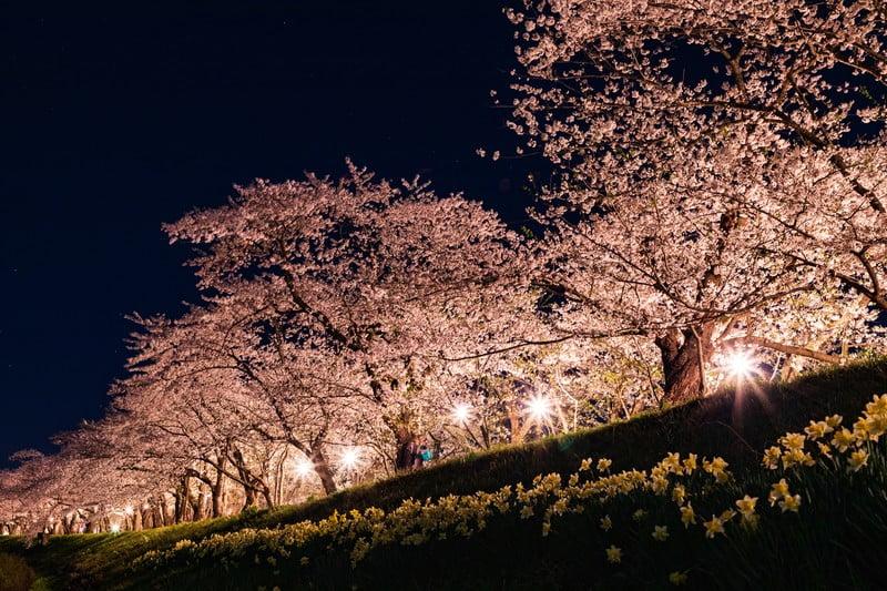 野川の桜のライトアップとは?場所とバス停はどこ?