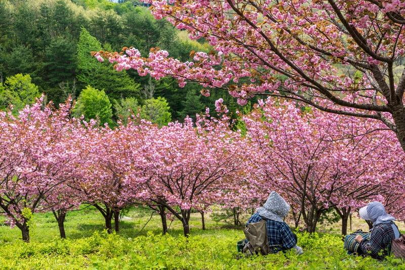 府中の桜名所2選府中公園のライトアップは?府中の森公園の開花は?