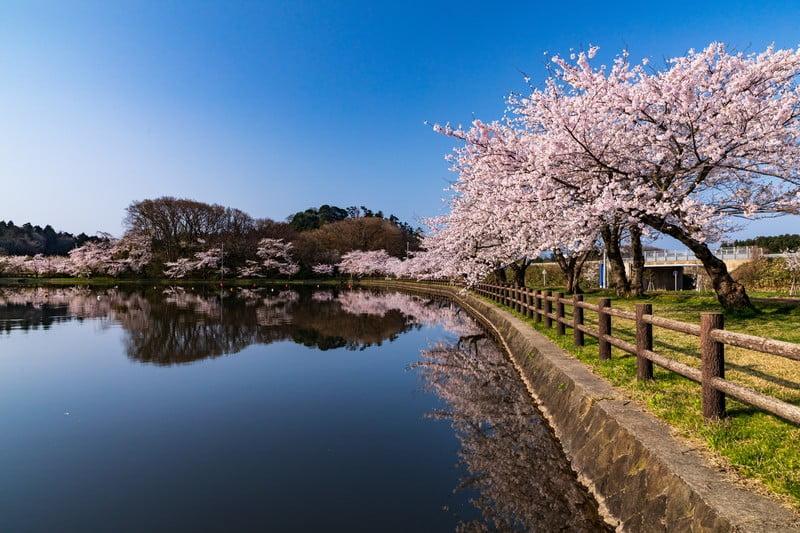 桜巡りバス 須磨 桜巡り 東京について